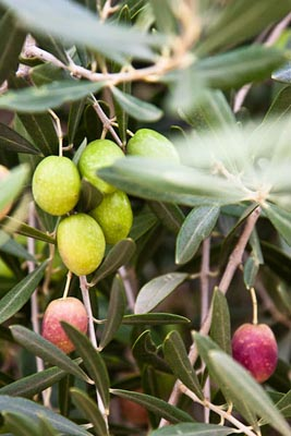 olives at the bella vista ranch