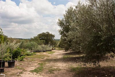 olive trees and garden at bella vista ranch